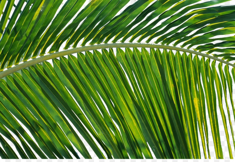 Facts about coconuts, coconut leaves