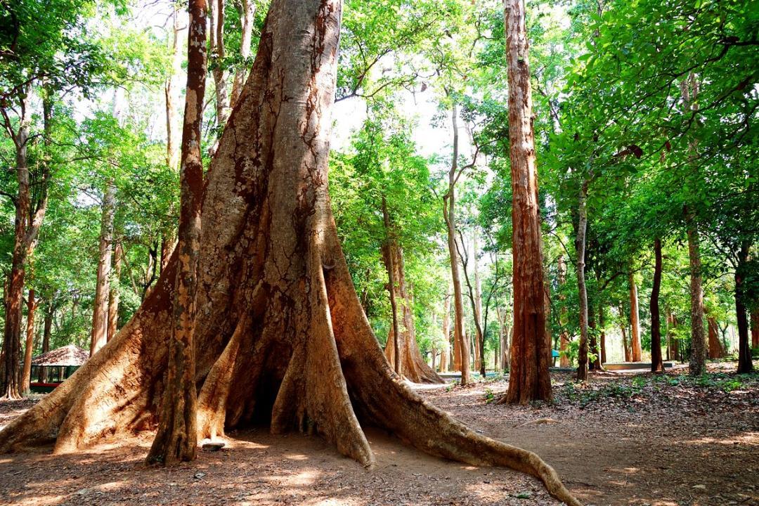 Teak Tree Forest, Natural Teak