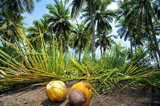 Facts About Coconuts, Coconut tree