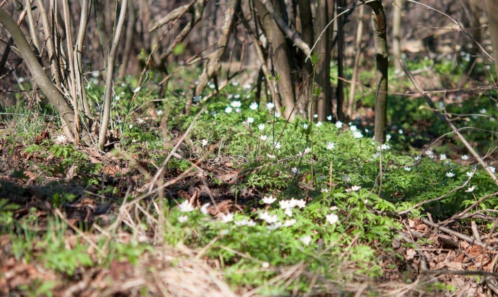 Wildflower on tree farm floor