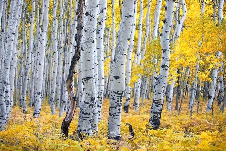 Hybrid Aspen Tree Farm