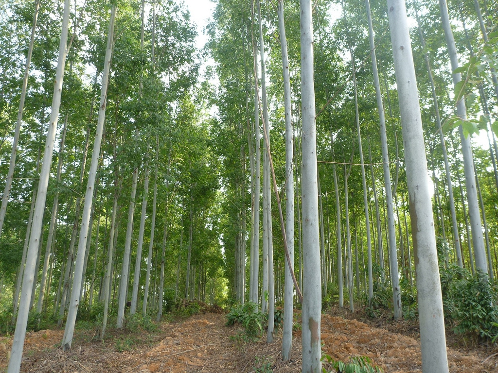 Hybrid Eucalyptus Tree Farm