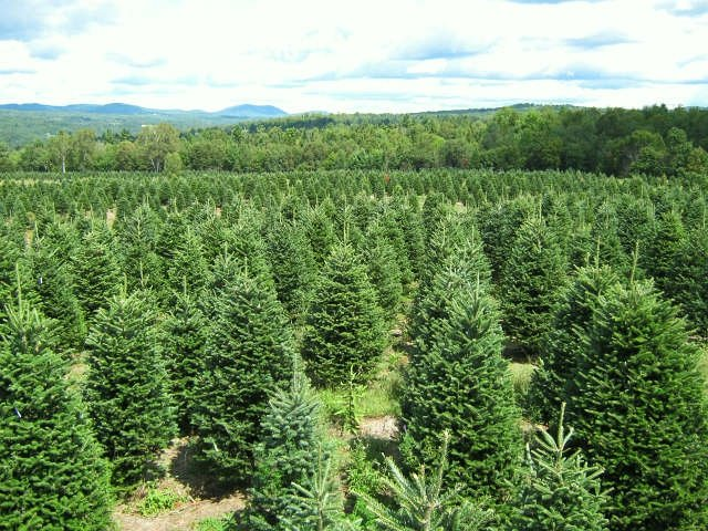 Hybrid Fir Tree Farm