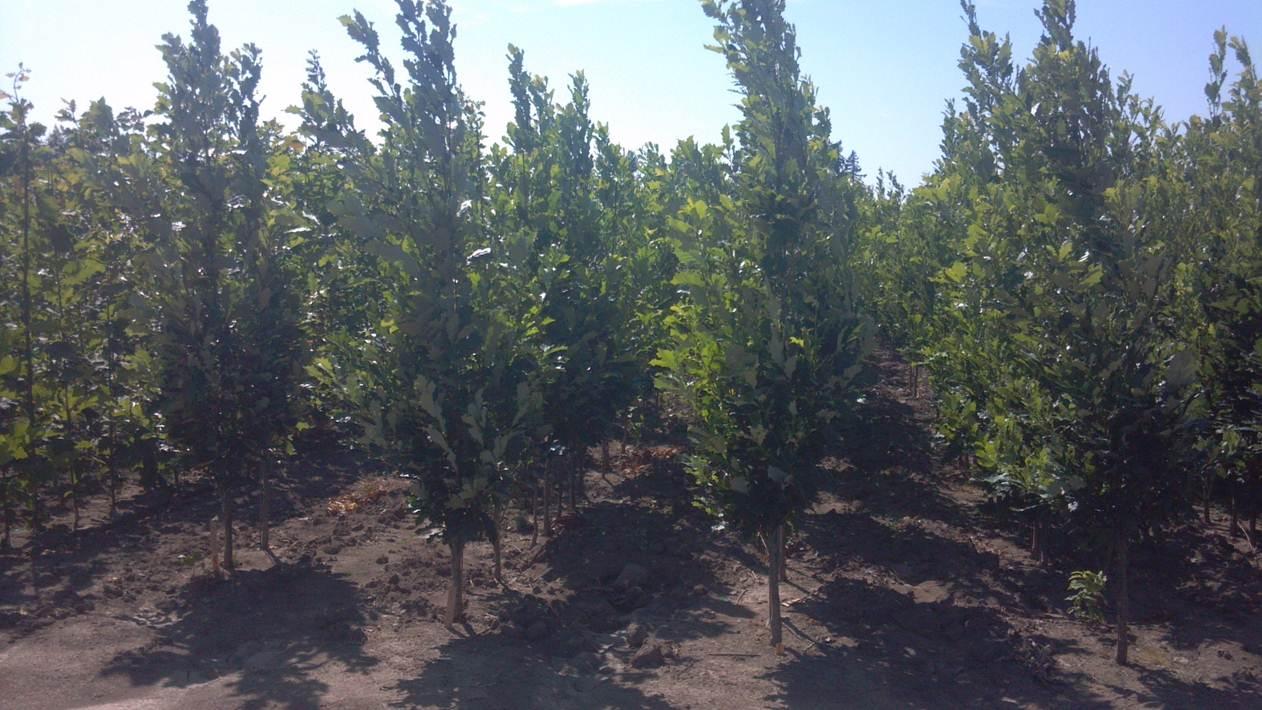Hybrid Oak Tree Farm