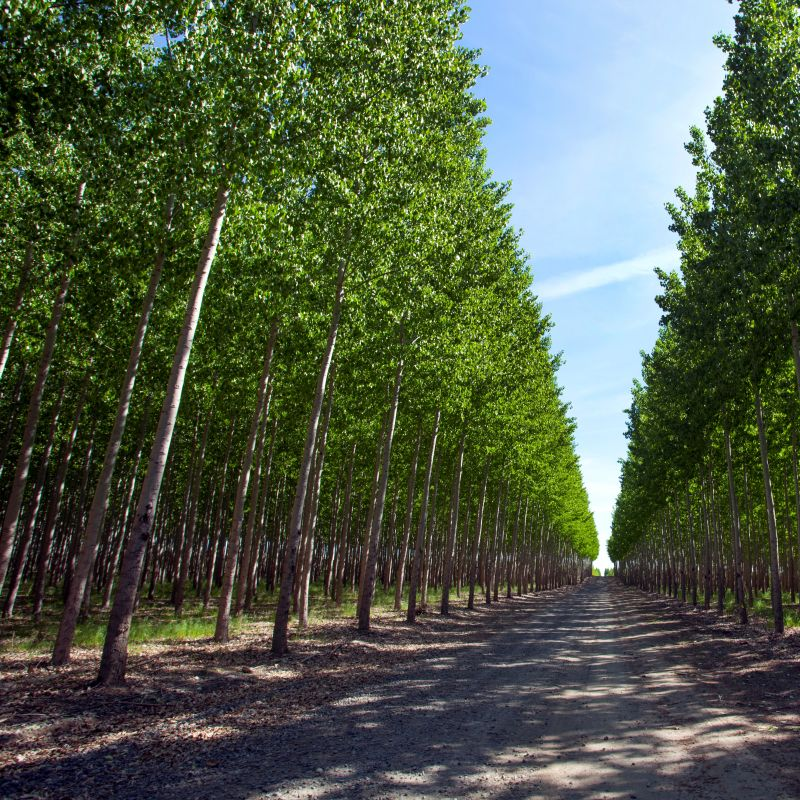 Hybrid Poplar Tree Farm