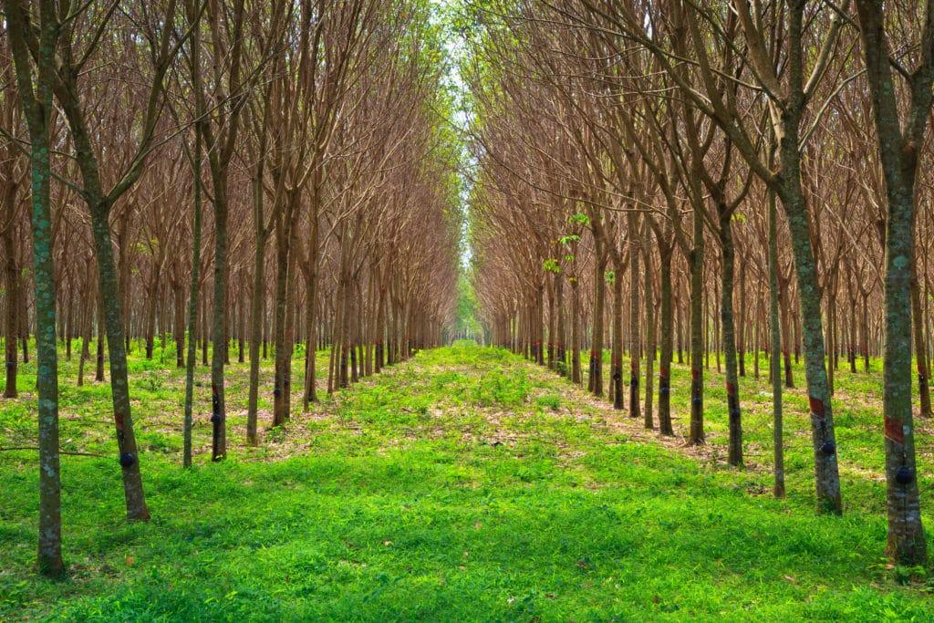 Hybrid Rubber Tree Farm