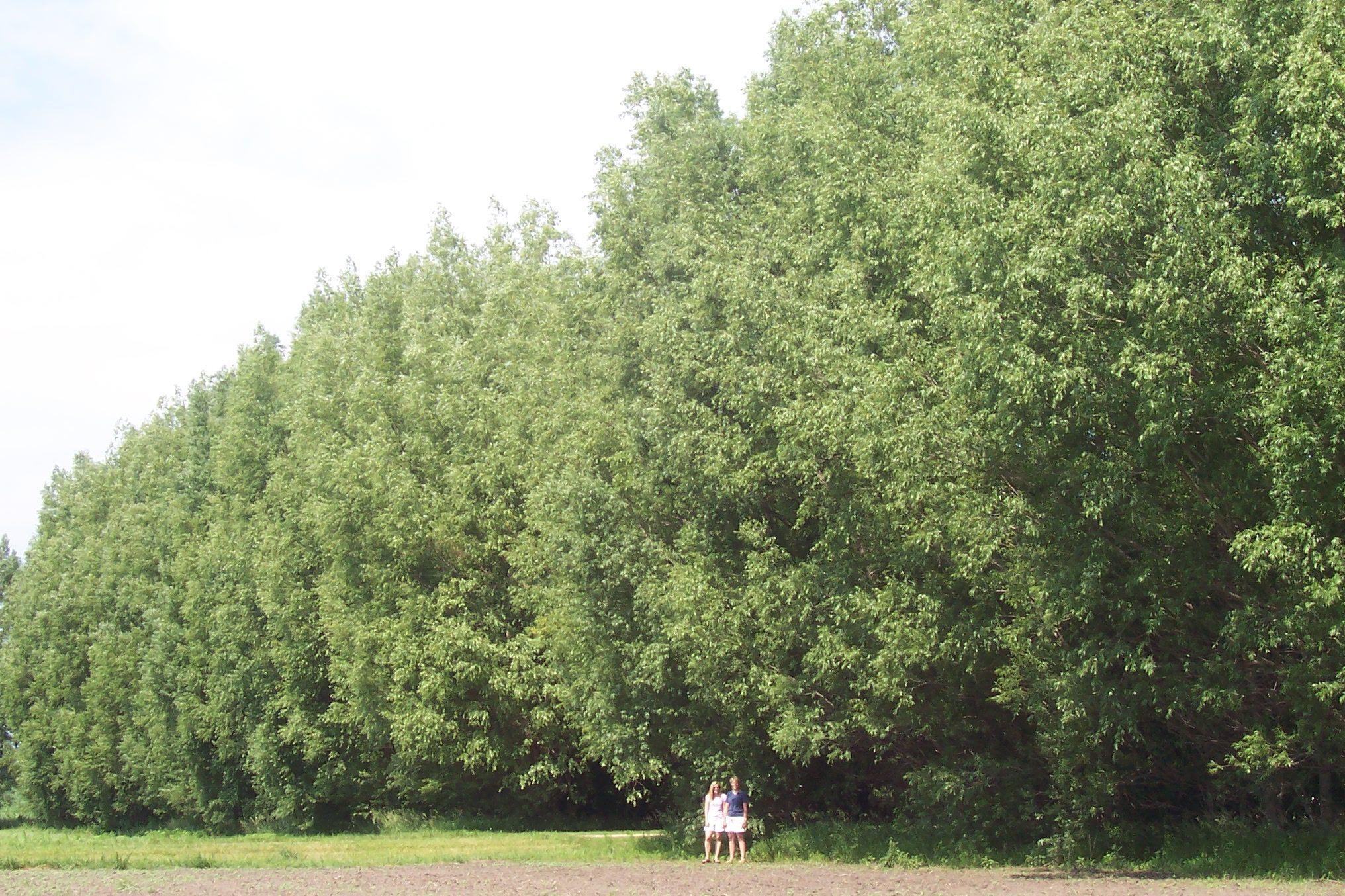 Hybrid Willow Tree Farm