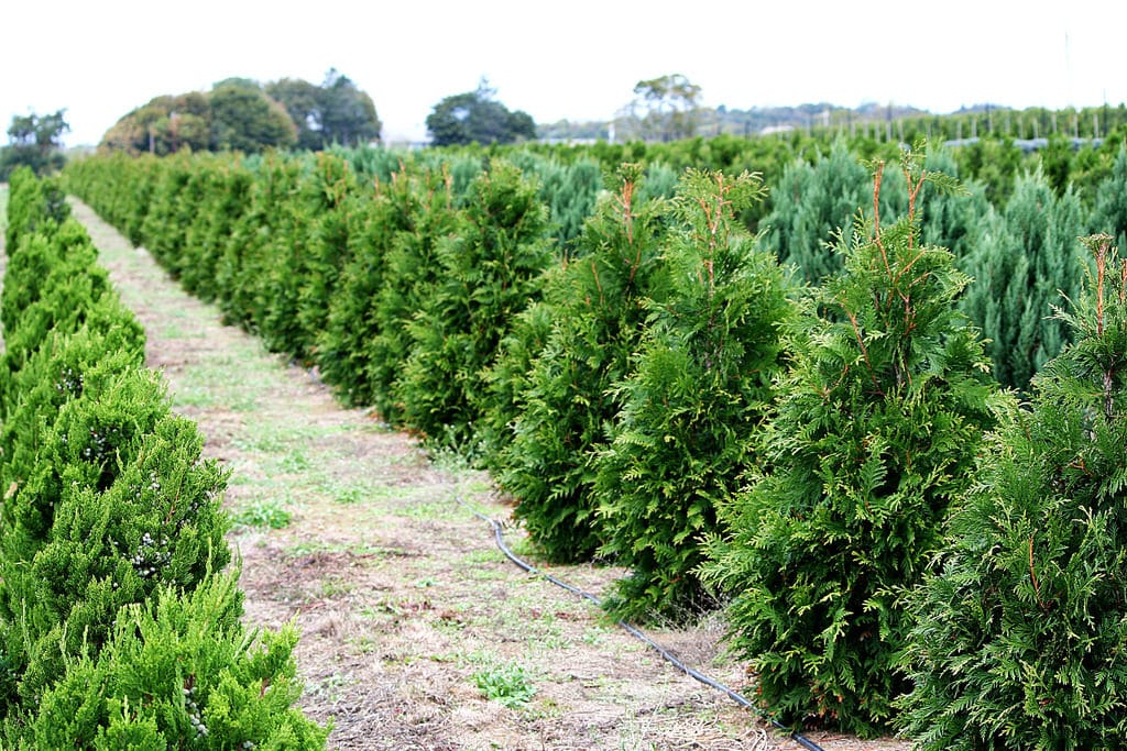 Hybrid Thuja Green Giant Tree Farm