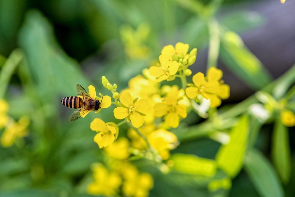 Insectary Plants, Eco Friendly Pest Control