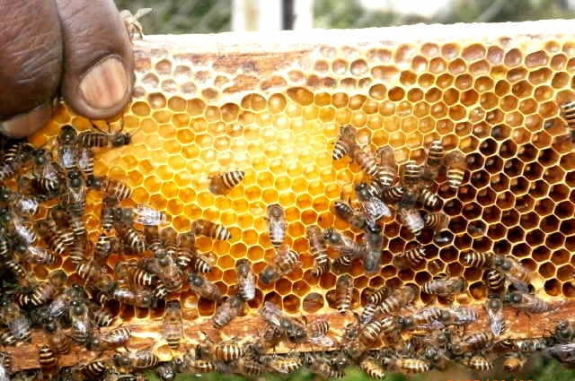 Honey Beeswax Non Timber Forest Product