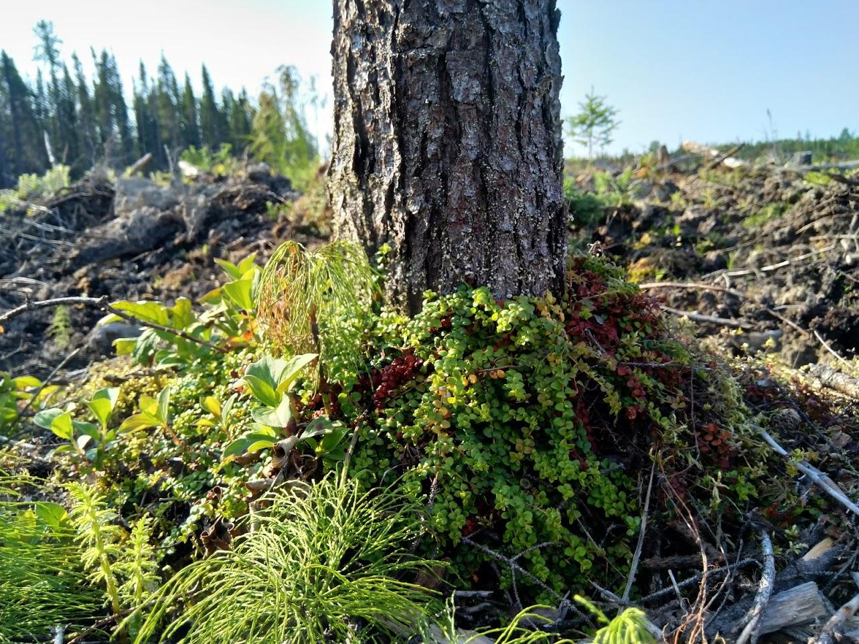 Tree Stump with Little Forest Tea