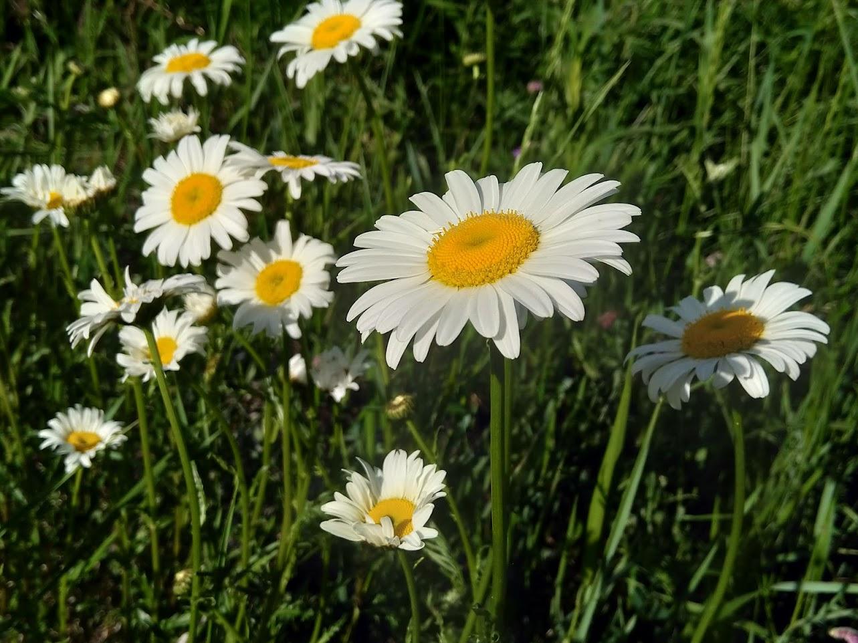 Wild Flowers Quebec 1