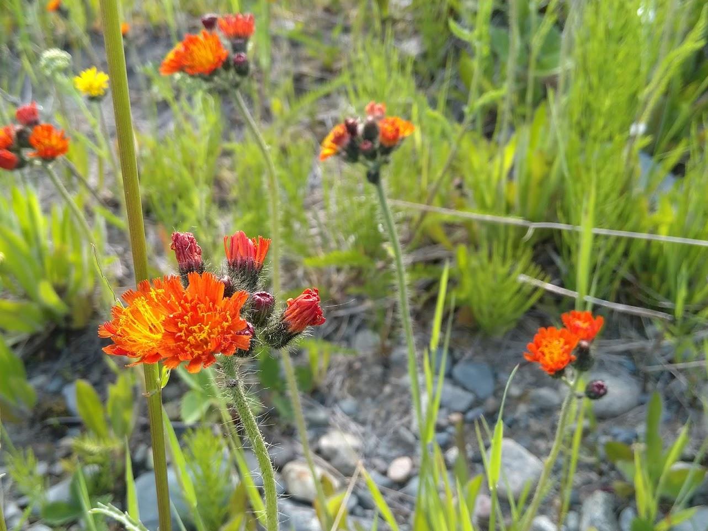 Wild Flowers Quebec
