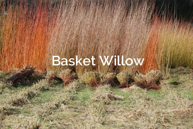 Basket Willow forest fibers