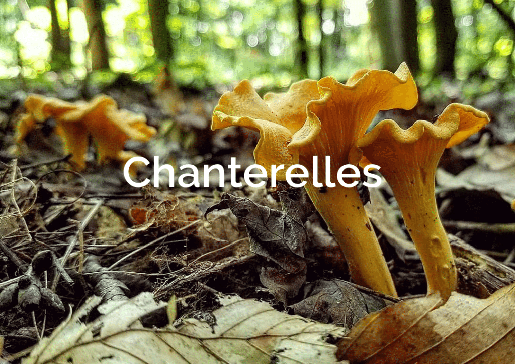 Chanterelle cantharellus cibarius Forest Mushroom