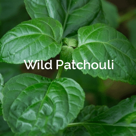 Wild Patchouli  Non-Timber Forest Product
