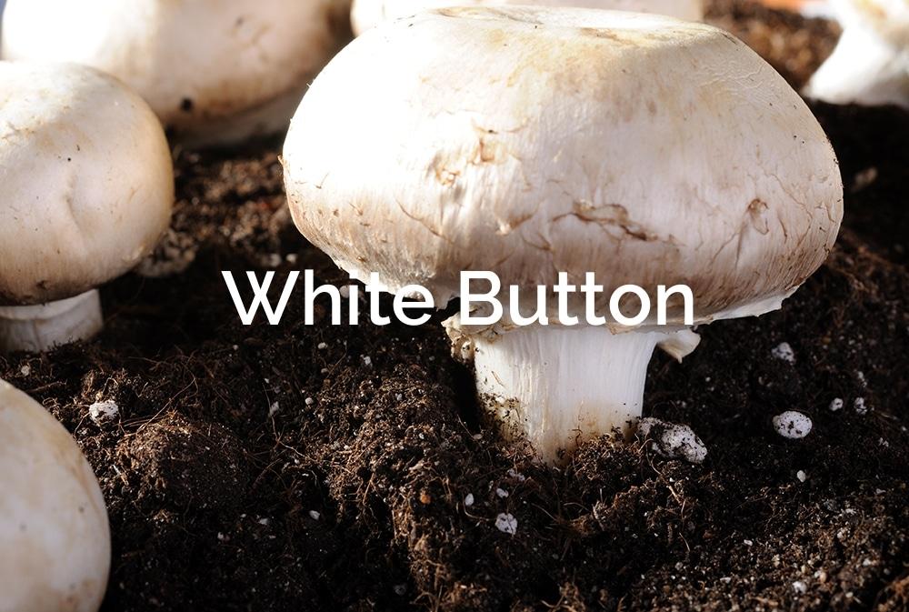 Agricus-bisporus-Button-Mushroom-Saprotrophic-mushrooms