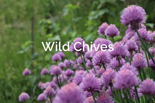 Allium schoenoprasum Wild Chives Forest Spice