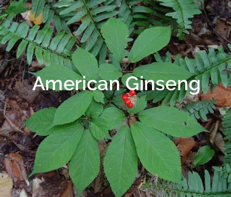 American-Ginseng-Panax-quinquefolius Medicinal Plant