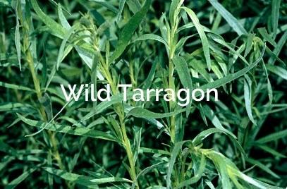 Artemisia-dracunculus-Wild-Tarragon Forest Spices