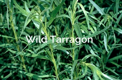 Artemisia-dracunculus-Wild-Tarragon-Non-Timber-Forest-Product