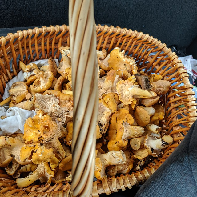 Basket of Wild Chanterelle Mushrooms