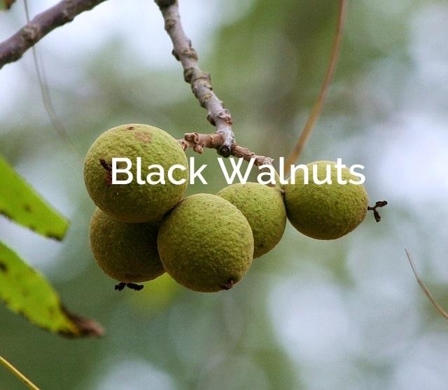 Black Walnuts (juglans nigra) Forest Product