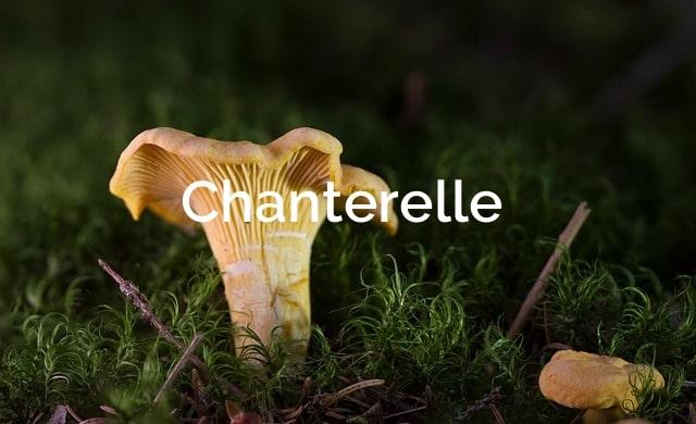 Chanterelle-Cantharellus-cibarius-Mycorrhizal-Mushrooms