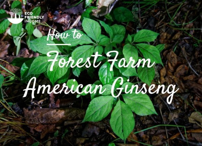 Forest Farm American Ginseng Roots
