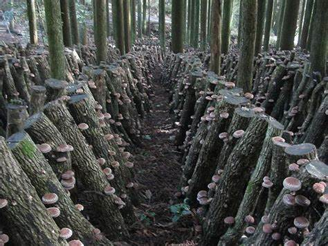 Forest-grown-mushroom-Cultivate