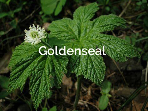 Goldenseal-Hydrastis-Canadensis Medicinal Plant