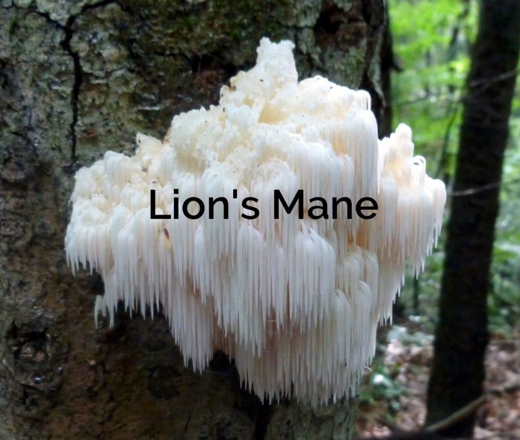Hericium-erinaceus-Lions-Mane-Parasitic-Mushroom-1