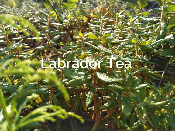 Labrador tea (Rhododendron tomentosum) Forest product