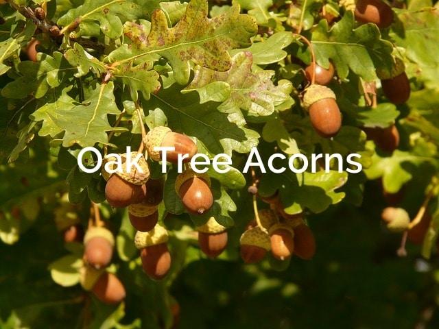 Oak Tree Acorns (quercus) Forest Product