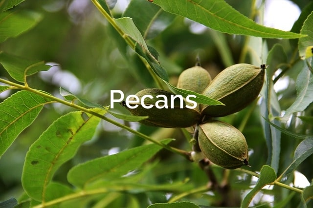 Pecan (Carya illinoinensis) Forest Product