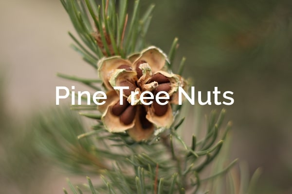 ¨Pine tree nuts pinus edulis Forest Product