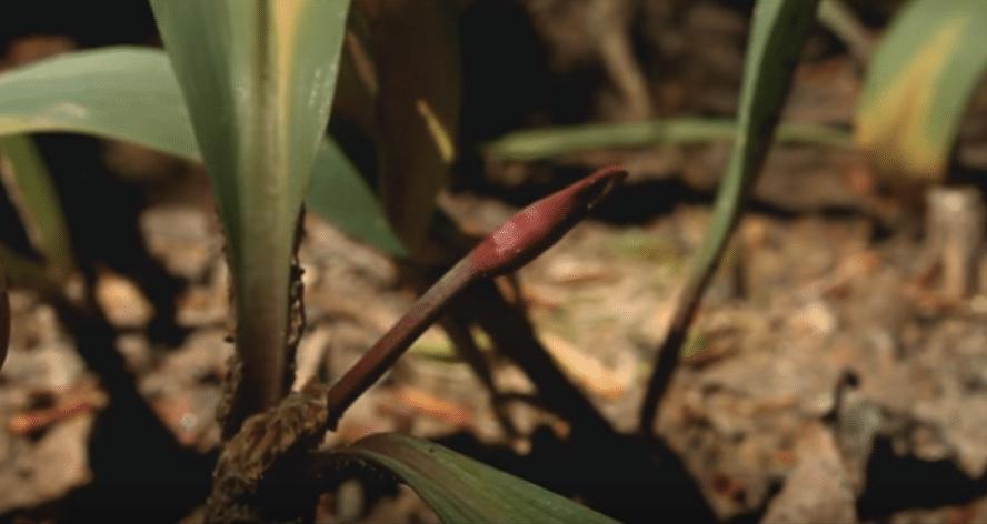 Ramps-Allium-Tricoccum-Scape-Stalk