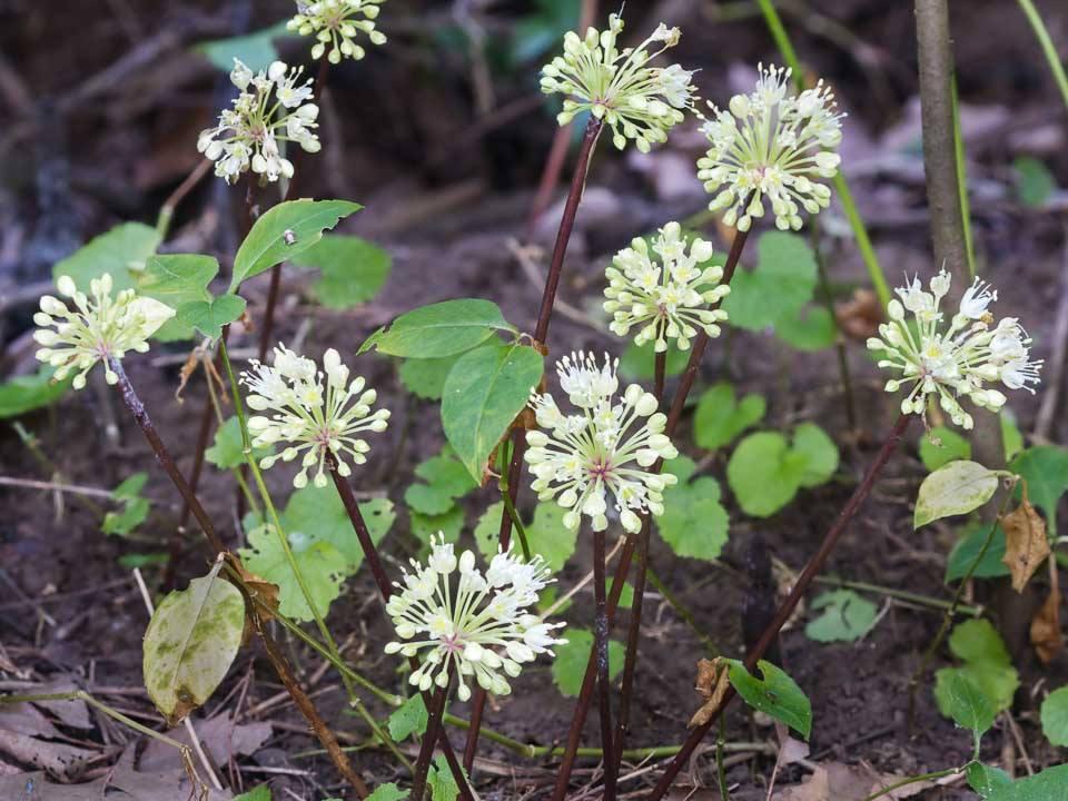Ramps (Allium tricoccum) Flowers
