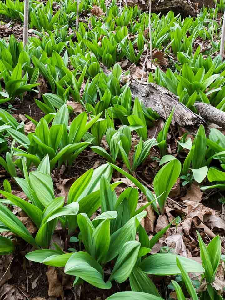 Ramps (Allium tricoccum) Leaves