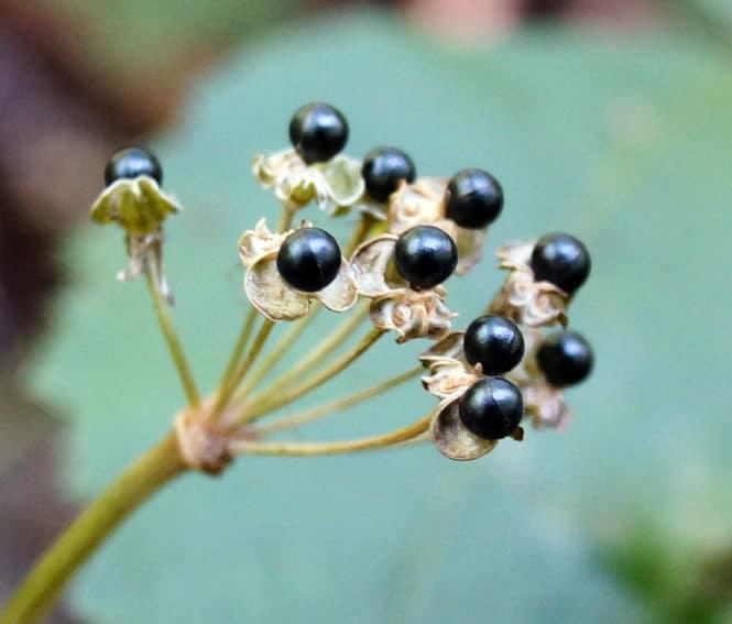 Ramps-Allium-tricoccum-Seeds