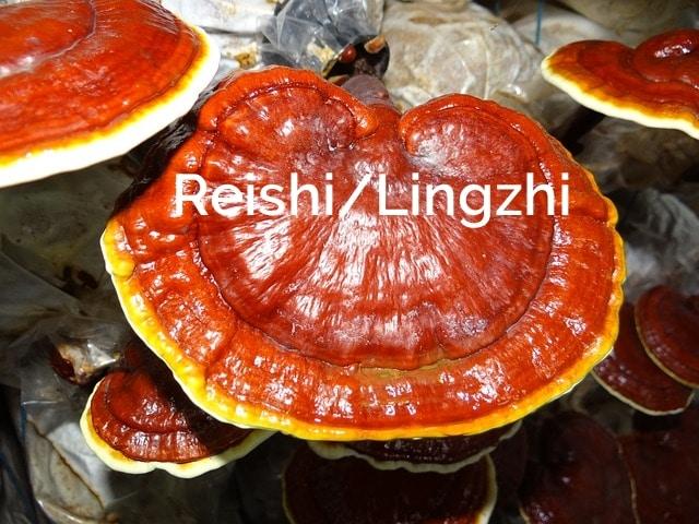 Reishi-Lingzhi-Ganoderma-lucidum-Saprotrophic-Mushroom