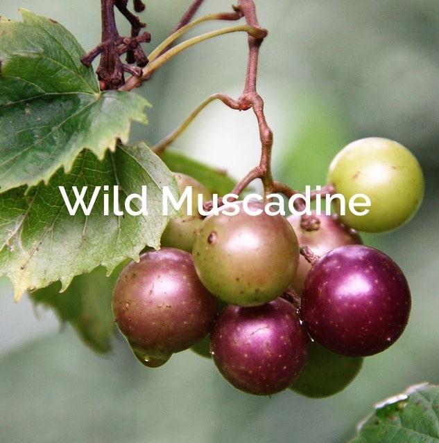 Vitis rotundifolia Muscadine Forest Product