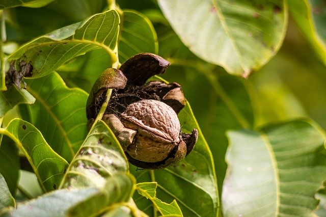 Walnuts – Juglans sp. Non-Timber Forest Product
