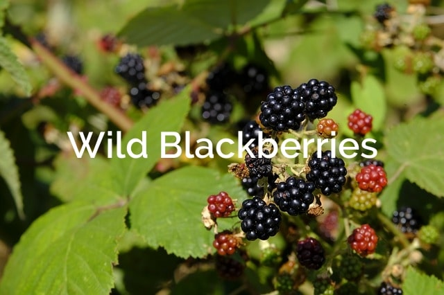 Wild Blackberries (Rubus allegheniensis) Forest Product