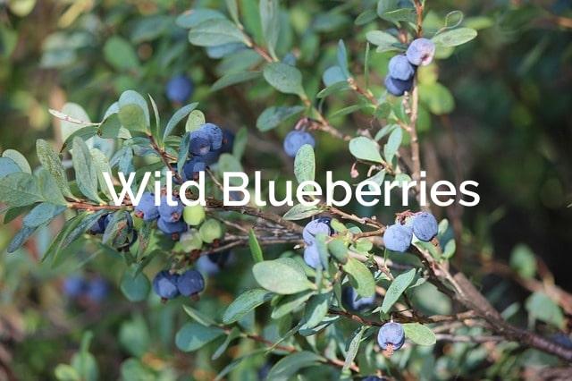 Wild Blueberries (Vaccinium angustifolium) Forest Product