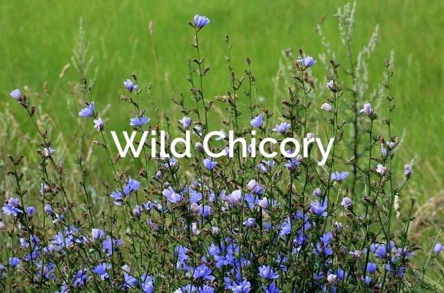 Wild Chicory -Cichorium intybus-Forest Spices