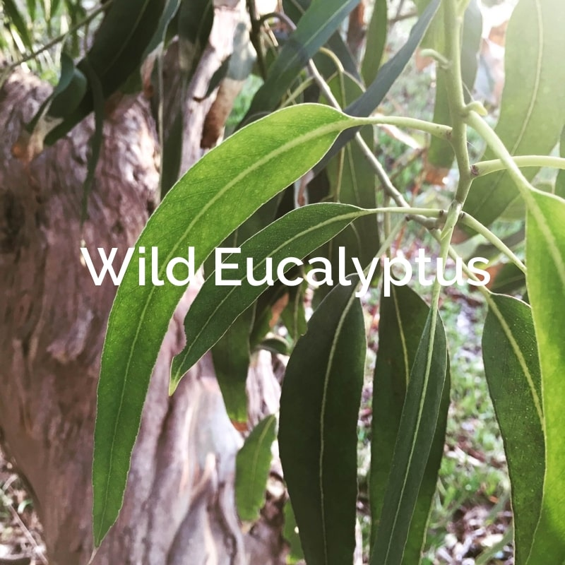 Wild Eucalyptus Non-Timber Forest Product