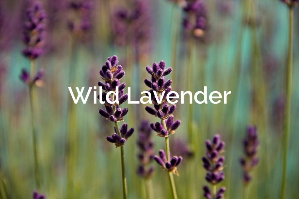 Wild Lavender  Non-Timber Forest Product