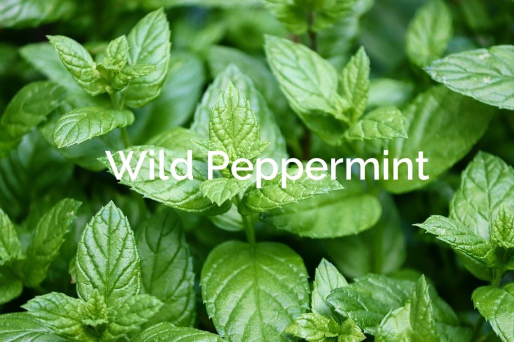 Wild Peppermint Non-Timber Forest Products