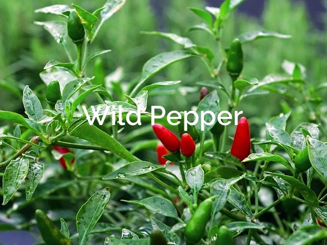 Wild Peppers - Capsicum Annuum Forest Spices